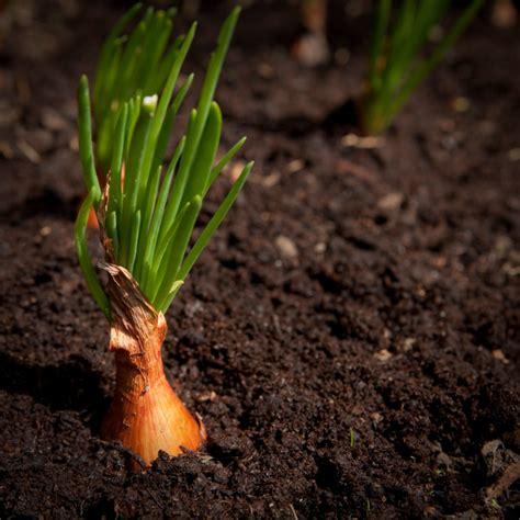 steckzwiebeln pflanzen vom stecken bis zur ernte