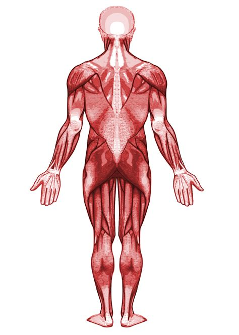 The iliac crest has a large amount of red bone marrow, and thus it is the site of bone marrow harvests (from both sides) to collect the stem cells used in bone marrow transplantation. File:Muscular system-back.svg - Wikimedia Commons