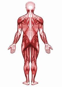 File Muscular System-back Svg