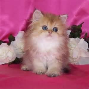teacup cats 25 best ideas about teacup kitten on kawaii