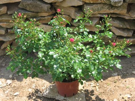 mini rosier en pot rosier en pot 28 images nos conseils pour acheter un rosier lidl mini rosier pas cher 224 1