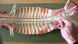 Nervous System Anatomy  Gross Anatomy Of Spinal Cord