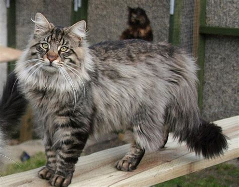 10 Large Cat Breeds In The World