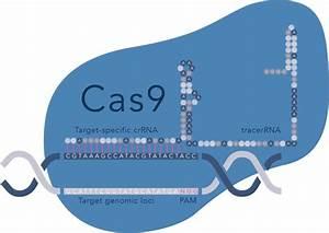 Crispr Plasmid Technologies