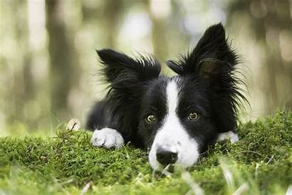 Collie Border Dog Wallpapers Face Collies Moss