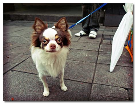 Do Haired Chiweenies Shed by Does Hair Chihuahua Shed Breeds Picture