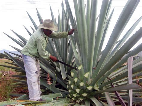 Maguey and Prickly-Pear Cactus Plants
