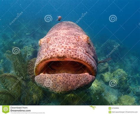 grouper keys goliath florida fish key looe