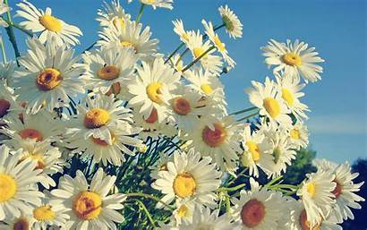 Daisy Bokeh Backgrounds Daisies