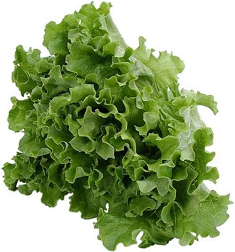 abidin in agriculture budidaya tanaman selada