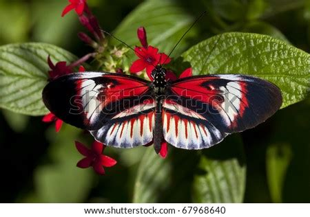 exotic  tropical heliconius butterfly called  piano