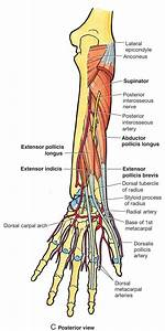 Anatomy Lecture 6  Forearm At Touro