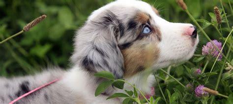 Australian Shepherd Puppies For Sale In Ohio 3 Background