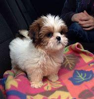 Cutest Shih Tzu Puppies
