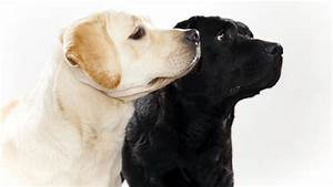 18 Best Labrador Retriever Pictures