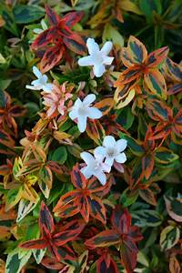 Abelia Grandiflora Kaleidoscope : abelia 39 kaleidoscope 39 garden housecalls ~ Melissatoandfro.com Idées de Décoration