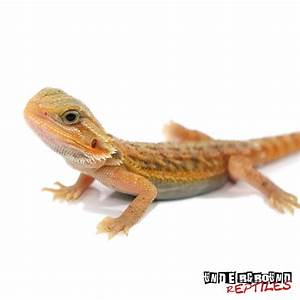 Baby Hypo Translucent Bearded Dragons For Sale ...
