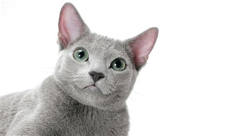 Do Russian Blue Cats Shed by Russian Blue Nebelung Cat Breed Information