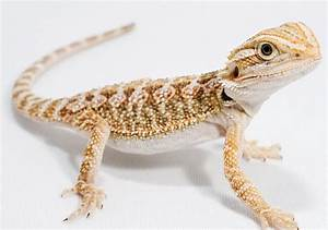 Bearded Dragon - Diet, Habitat, Info, Pictures, Facts ...