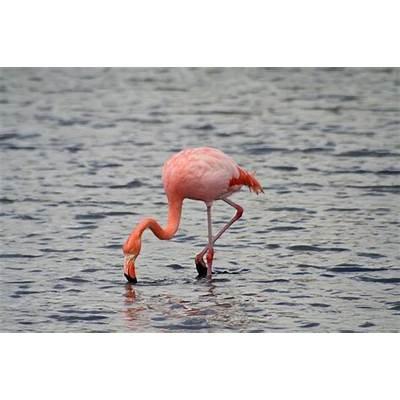 American Flamingo (Phoenicopterus ruber) Biopix photo