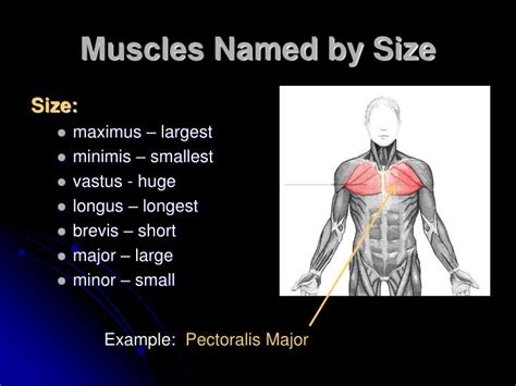 Names of arm and hand muscles. PPT - Characteristics Used to Name Skeletal Muscles PowerPoint Presentation - ID:2167543