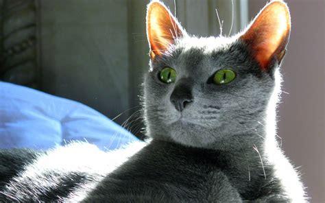 gatto da appartamento razza il gatto di russia la razza degli zar animali pucciosi