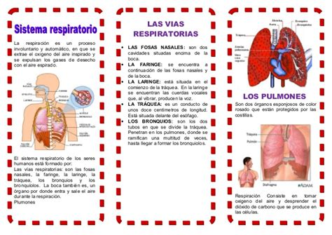 triptico sobre la respiracion triptico sobre la respiracion educaci 243 n f 237 sica 112863981 triptico sistema respiratorio