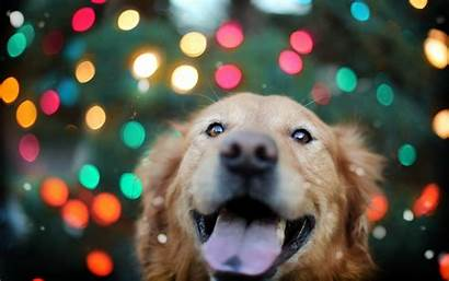 Retriever Golden Christmas Puppy Puppies Wallpapers Dogs
