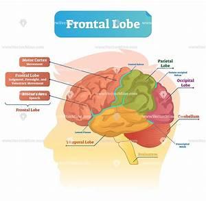 Frontal Lobe Anatomical Vector Illustration Diagram