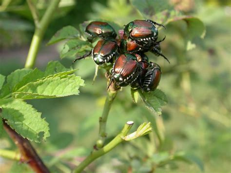 best way to get rid of japanese beetles japanese beetle control organic ways of pest control