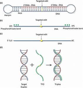 Oligonucleotide Designs   A  Chimeraplast Schematic