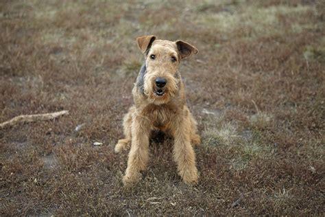 classic dog breeds    british   brits