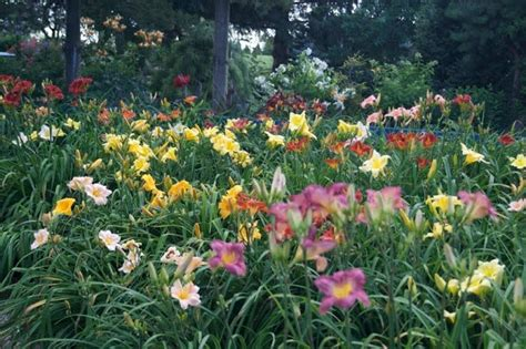 daylilies massachusetts mass plantings of daylilies hemerocallis pinterest