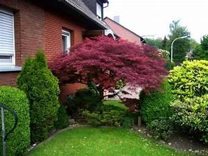 Japanischer Ahorn Wertet Den Gartenbereich Optisch Auf