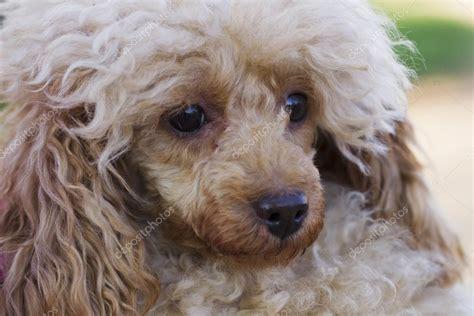poodle colors apricot couleur de chien caniche abricot photographie oleghz