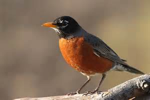 american robin   Should've Used Twitter