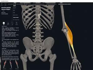 Muscles  Brachioradialis   U2013 Anatomy  U0026 Physiology