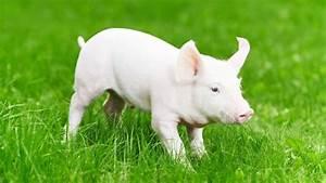 Best Housing For An Outdoor Pig