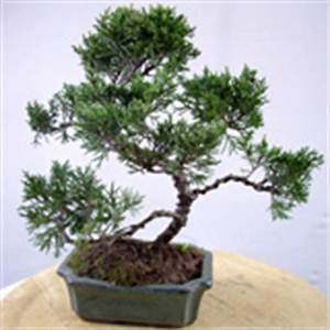 Chinesischer Wacholder Bonsai : chinesischer wacholder carmens bonsai garten online shop f r bonsai pflanzen b ume bonsai d nger ~ Sanjose-hotels-ca.com Haus und Dekorationen
