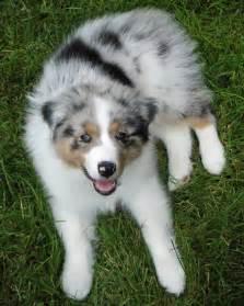 Australian Shepherd Puppies Indiana