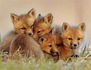 Super Cute Baby Red Foxes | FOXES (VOS) | Pinterest | Baby ...