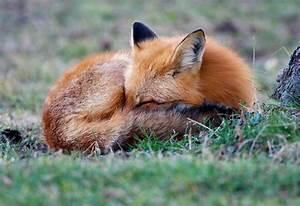 Enciclopedia animal Animales del bosque Zorro común o zorro rojo