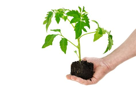 tomaten pflanzen anleitung tomaten richtig pflanzen 187 der gro 223 e ratgeber