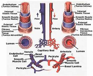 General Features Of Blood Vessels