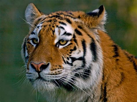Endangered Animals Wallpapers - endangered species wallpapers high quality free