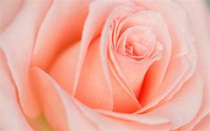 Beautiful Light Pink Rose Wallpapers - 1680x1050 - 340319