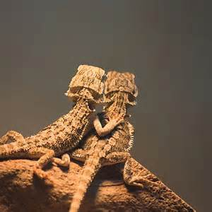 bearded dragon basking behaviour bearded dragon care info