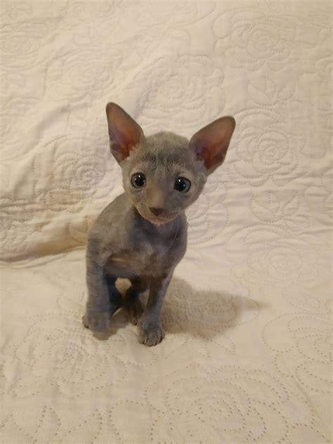 PP.lv Dzīvnieki Kaķi, kaķēni: 500.00€ Pieejami ...