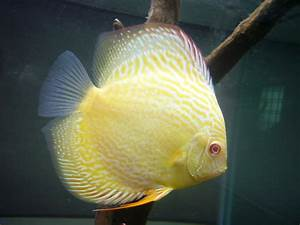 Discus on Pinterest | Discus Fish, Tropical Fish and Fish