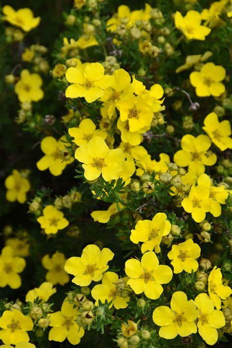 Dakota Sunspot® Potentilla (Potentilla fruticosa 'Fargo ...